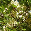 robinia-pseudoacacia-flor-blanca-th