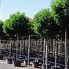 robinia-pseudoacacia-umbraculifera-th