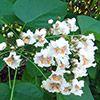 sophora-japonica-th