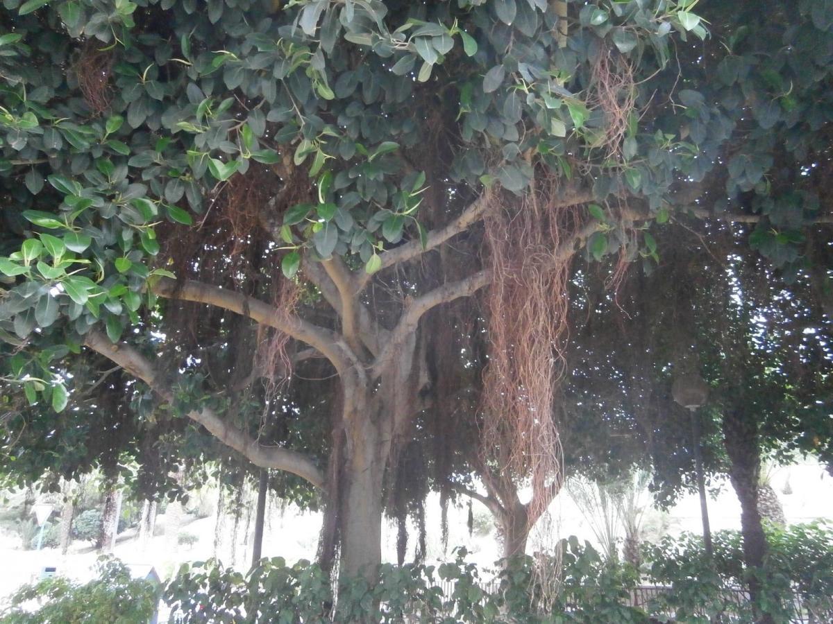 Ficus australis vostres vivers - Variedades de ficus ...