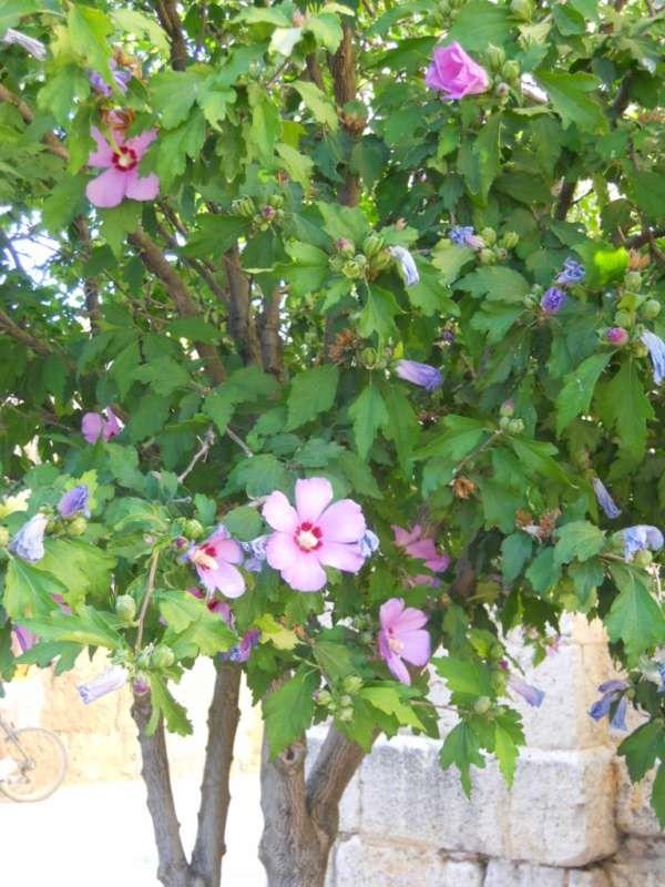 Hibiscus syriacus vostres vivers for Hibiscus arbol