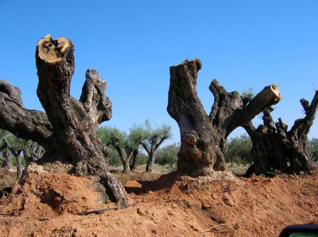 Olivos vostres vivers for Viveros de olivos
