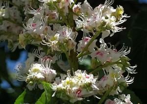 Aesculus Hippocastanum 8