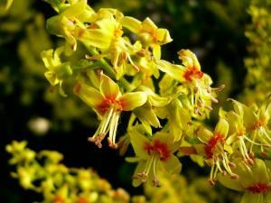 Koelreuteria flor 3 web