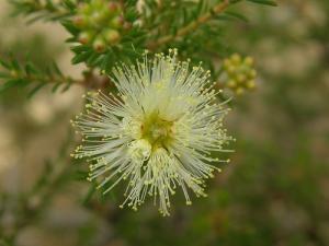 Melaleuca Acerosa 1 web
