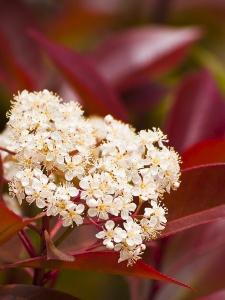 Photinia flor1