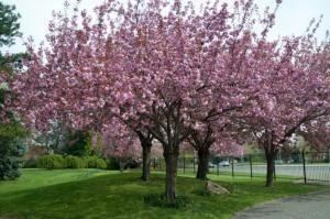Prunus Serrulata arbol1