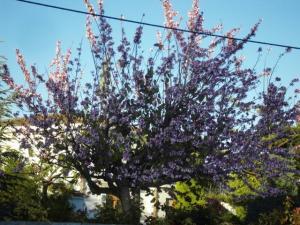 Prunus pisardii
