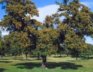 Quercus Ilex3