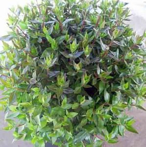 abelia-grandiflora-03