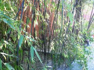 bambu-negro-01