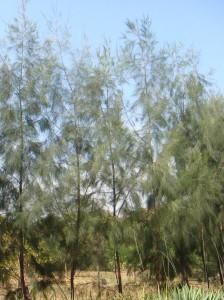 casuarina-equisetifolia-02