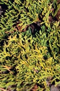 cupressus-sempervirens-totem-pole-03