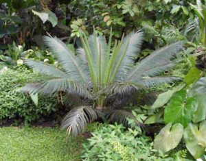 cyca-circinalis-02
