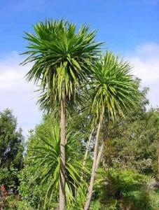dracaena-cordyline-australis-01
