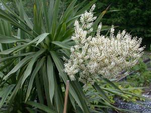dracaena-cordyline-australis-02