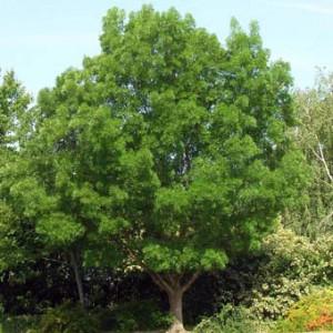 fraxinus-angustifolia-01