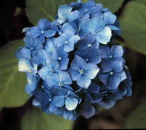hydrangea-macrophylla-02