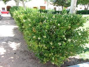 ligustrum-ovafolium-01