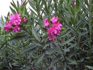 nerium-oleander-02