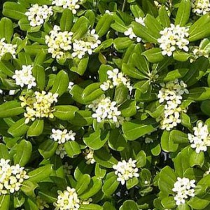 pittosporum-tobira-02