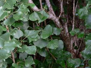 populus-nigra-02