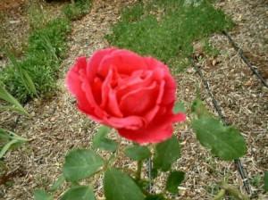 rosal-01