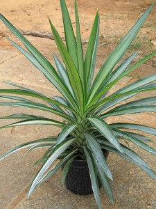 yucca-elephantipes-variegata-01