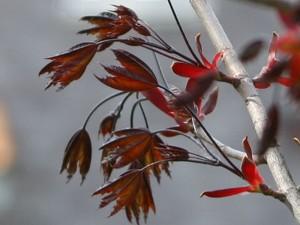 Acer Crimson 1