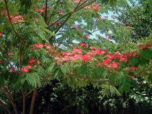 Albizia-julibrisin-umbrella-roja 1