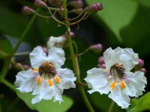 Catalpa-bignoniooides 3