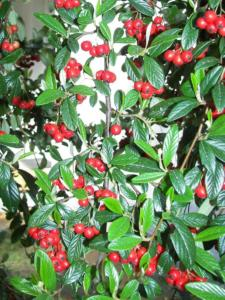 Cotoneaster Franchetii 2