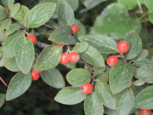 Cotoneaster franchetii 1