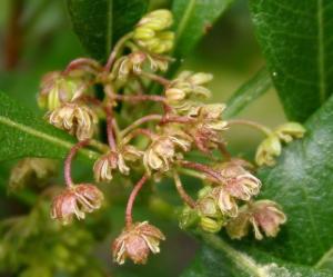 Dodonaea viscosa (1)