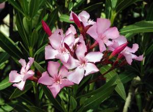 Nerium flor 1 web