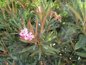 Nerium flor y fruto 1 web
