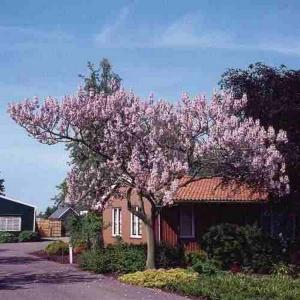 Paulownia arbol1