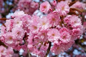 Prunus Serrulata flor1