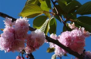 Prunus Serrulata flor y hoja1