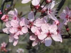 Prunus pisardii flor (3)