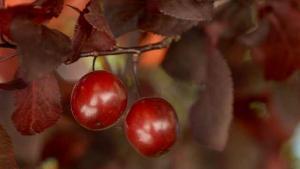 Prunus pisardii fruto y hoja(4