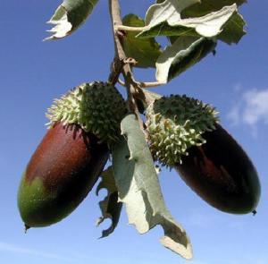 Quercus Ilex1