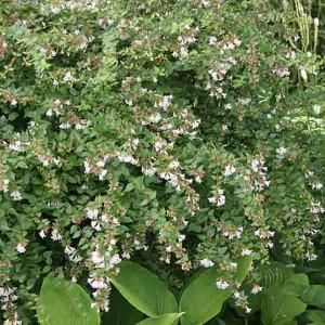 abelia-grandiflora-01