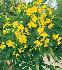 cassia-corymbosa-02