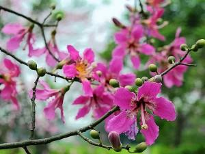 chorisia speciosa 2