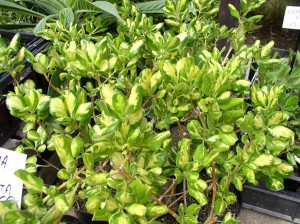 coprosma-rubiaceae-01