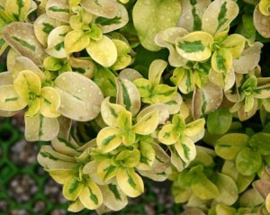 coprosma-rubiaceae-02