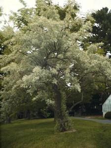 eleagnus-angustifolia-caspica-01