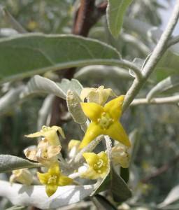eleagnus-angustifolia-caspica-03