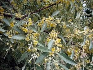 eleagnus angustifolia 1